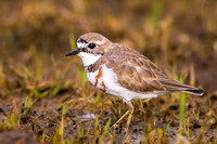 Double-banded plover, Charadrius bicinctus (Lord Howe Island)