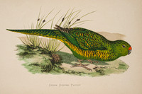 Eastern Ground Parrot, Pezoporus wallicus