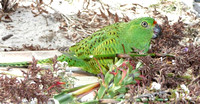 Western Ground Parrot (captive breeding) - by Dr Abby Berryman